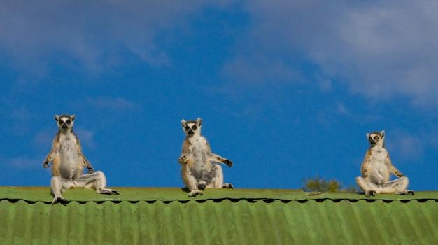 Drei lemuren sitzen auf dem dach des hauses vor dem hintergrund des blauen himmels