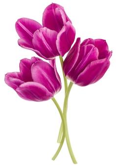 Drei lila tulpenblumen lokalisiert auf weißem hintergrundausschnitt