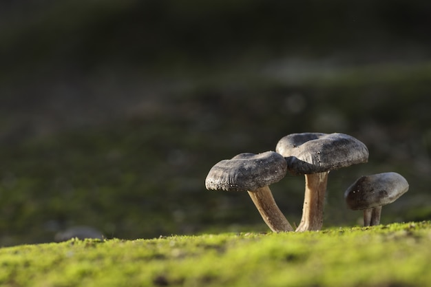 Drei lyophyllum littorina-pilze