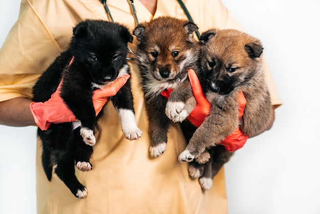 Drei mischlingswelpen beim tierarzt in der tierklinik. untersuchung eines haustieres, eines lustigen kleinen hundes in den armen einer ärztin