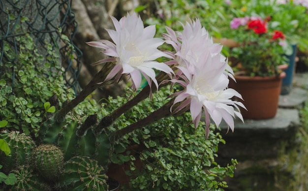 Drei neu blühende kaktusblüten.