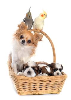 Drei nymphensittiche und hunde