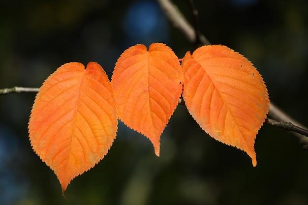 Drei orangen buchenblätter auf einem zweig herbst botanischer garten