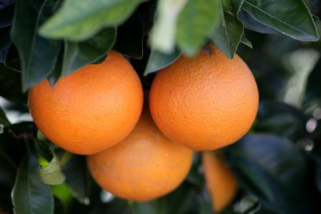 Drei orangen, die in einem orangenbaum wachsen