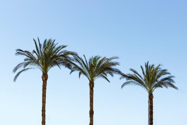 Drei palmen gegen einen blauen himmel