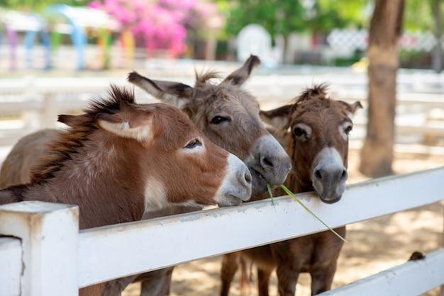 Drei pferde oder esel auf dem bauernhof. kopf des dreifachen braunen pferds oder des esels im stall. pferd oder esel, die gras vom reisenden verschlingen. haustier liebesdreieck konzept. liebe drittanbieter-konzept.