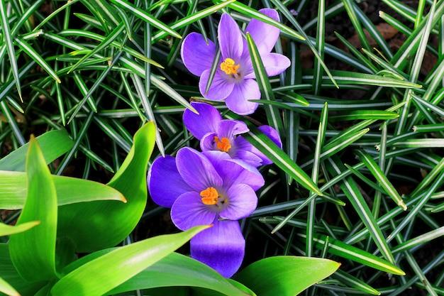 Drei purpurrote blumen in den grünen blättern des grases