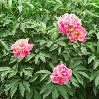 Drei rosa pfingstrosenblumen auf busch im garten