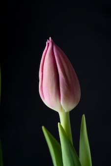 Drei rosa tulpen lokalisiert auf schwarz