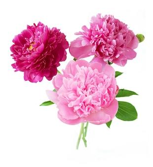 Drei rosa und rote pfingstrosen