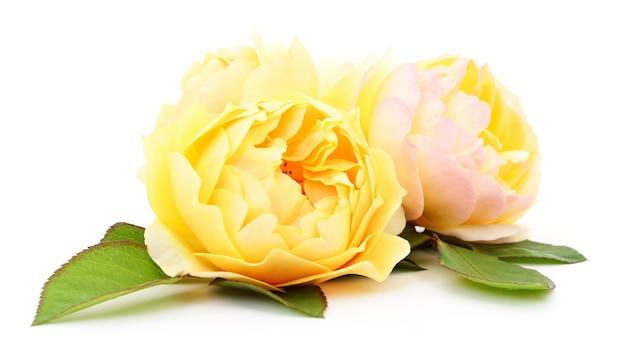 Drei schöne gelbe rosen isoliert