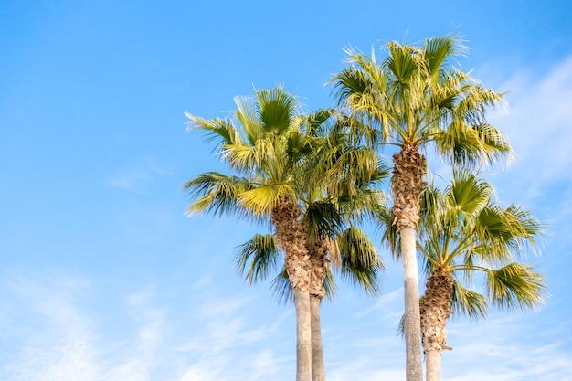 Drei schöne palmen in der niedrigen winkelansicht des blauen sonnigen himmels