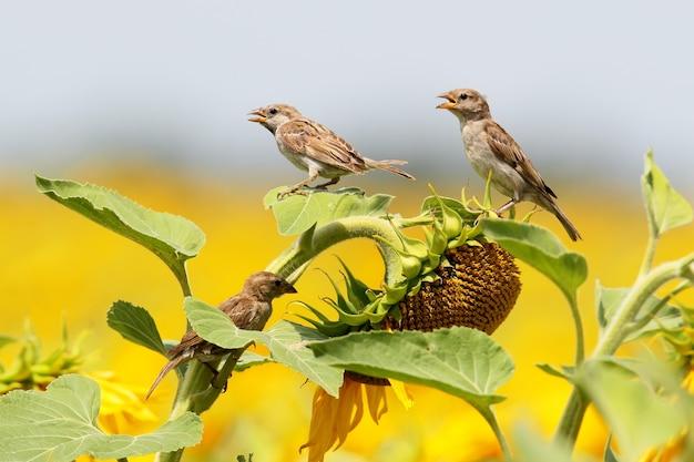 Drei spatzen auf sonnenblume