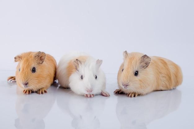 Drei süße meerschweinchenbrüder weißer hintergrund