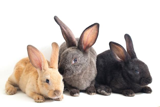 Drei süße schwarze, rotbraune und graue rex-kaninchen auf weißem hintergrund