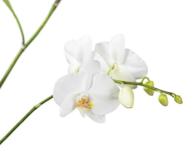 Drei tage alte weiße orchidee isoliert. nahansicht.