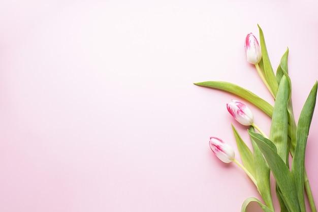 Drei weiß-rosa tulpen auf einem rosa hintergrund mit kopienraum