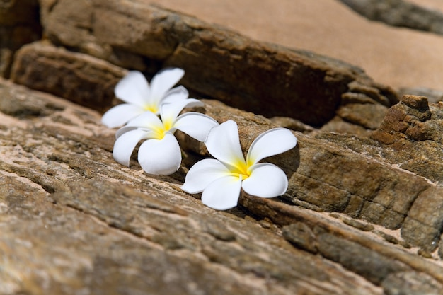Drei weiße frangipani spa blumen auf rauen steinen