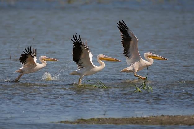 Drei weiße pelikane in einer reihe zum start aus dem wasser