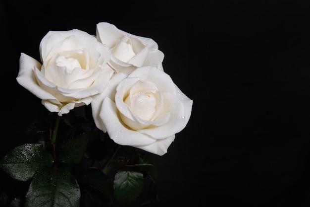 Drei weiße rosen auf schwarz
