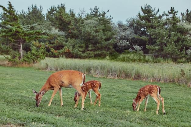 Drei wilde rotwild draußen im wald das furchtlose schöne und nette gras essend