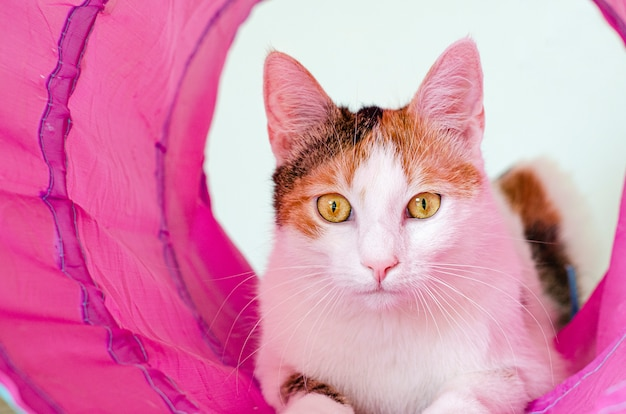 Dreifarbige katze spielt im tunnel. spiele zu hause mit einem haustier.