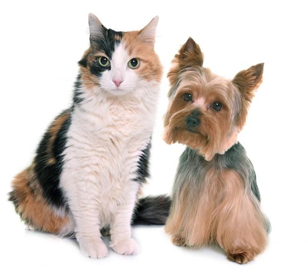 Dreifarbige katze und yorkshire-terrier