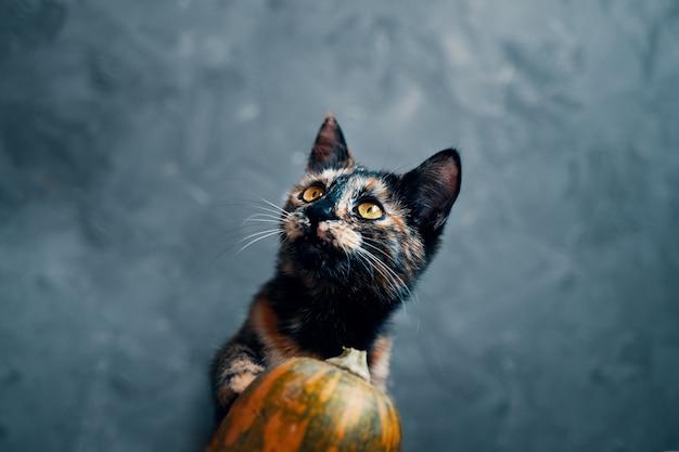 Dreifarbige süße katze schaut über kürbis auf