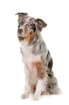 Dreifarbiger australischer schäferhund