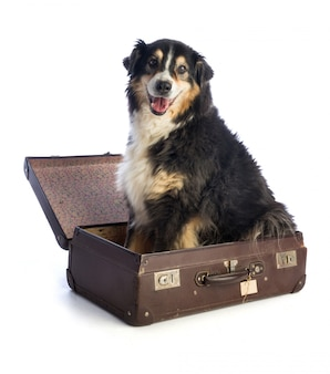 Dreifarbiger schwarzer australischer schäferhund im koffer