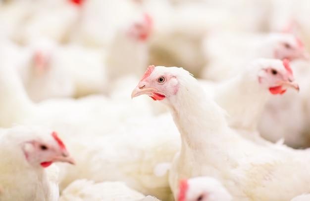Drinnen hühnerfarm, hühnerfütterung