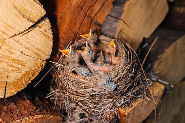 Drossel nest. vogelnest im holzschuppen. neugeborene küken amsel. hungrige küken schauen auf und öffnen ihre schnäbel und weinen.