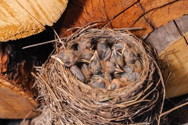 Drossel nest. vogelnest im holzschuppen. neugeborene küken amsel. küken schlafen in einem nest aus stroh.
