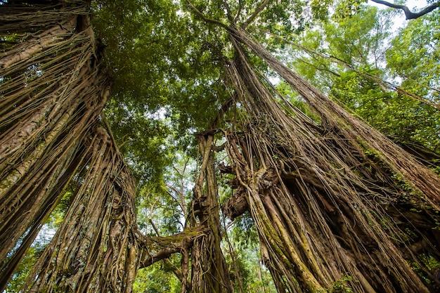 Dschungel. affenwald. exotischer reisetourismus. der rest des äquators. bali, indonesien