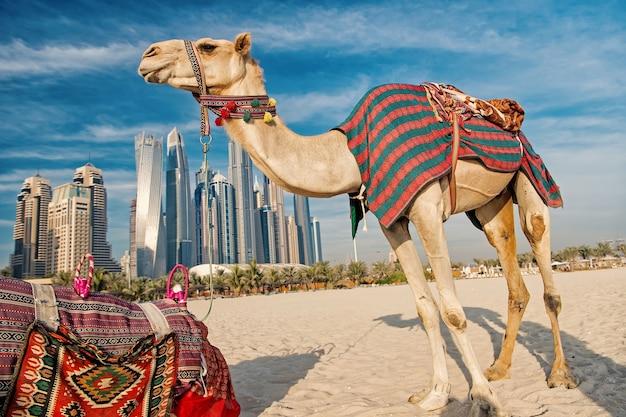 Dubai kamele auf wolkenkratzerhintergrund am strand. vae dubai marina jbr strandstil: kamele und wolkenkratzer. moderne gebäude im business-stil. geschichte und moderne der vae