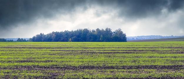 Düsterer herbsttag. herbstfeld mit grünen sprossen von winterweizen.