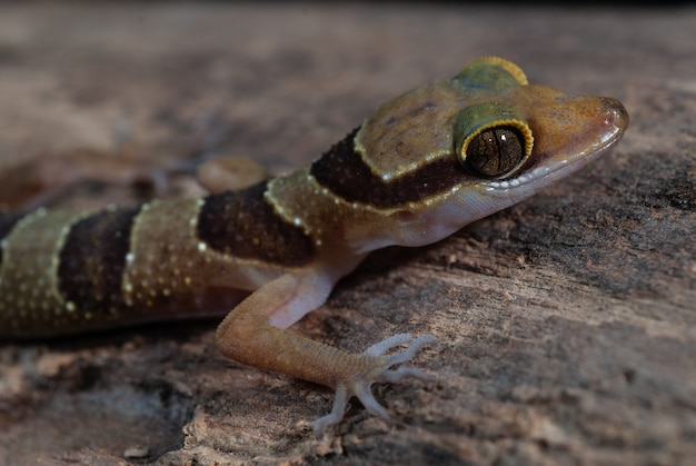 Dumnuis gebrüll-gecko: cyrtodactylus dumnuii