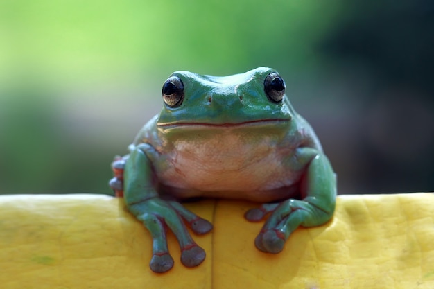 Dumpy frosch sitzt auf grünen blättern