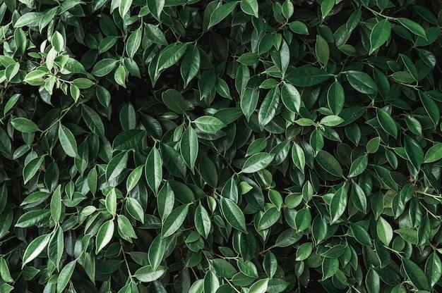 Dunkelgrüne banyanblätter im garten