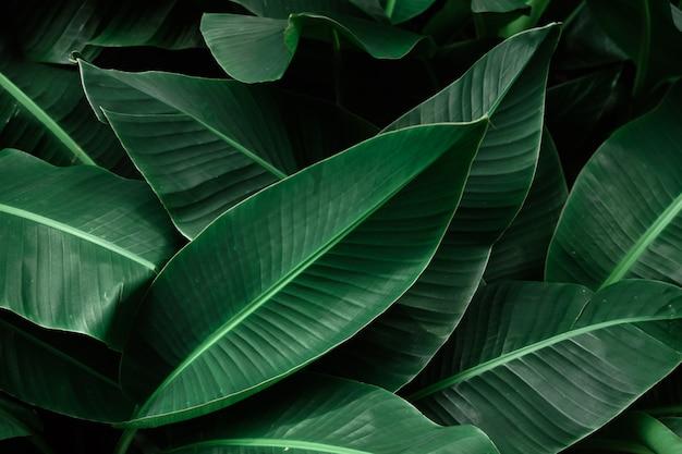 Dunkelgrüne blätter der tropischen banane gemasert.
