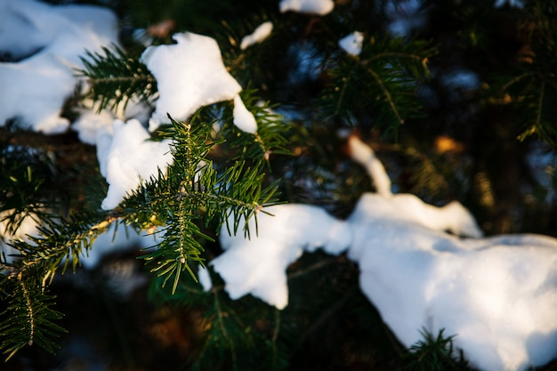 Dunkelgrüne tannenbaumzweige bedeckt mit schnee, winterhintergrundbild