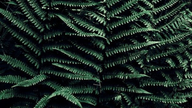 Dunkelgrüner tropischer hintergrund mit kopienraum. natürlicher blattfarn. farnblatt im dschungel. abstrakte textur.