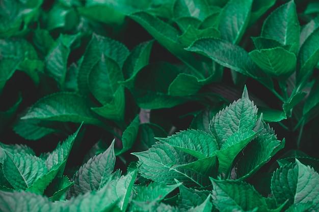 Dunkelgrünes laub einer gesunden pflanze gezackte blätter