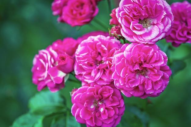 Dunkelrosa elmshorn rosenstrauch blüht im frühherbst