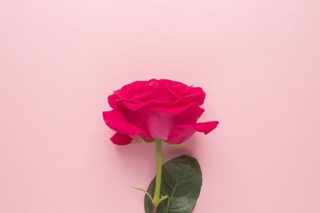 Dunkelrosa rose auf einer rosa draufsicht des minimalen stils