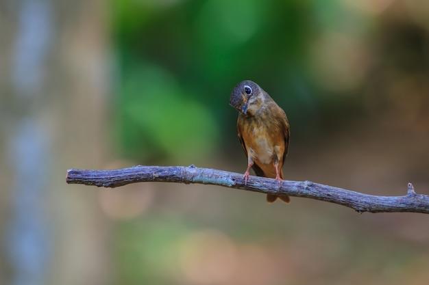 Dunkelseitiger schnäpper (muscicapa sibirica), stehend auf einem ast