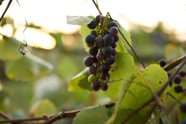 Dunkle trauben weinbereitung natur frische sonne