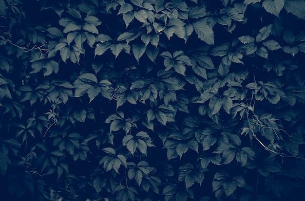 Dunkle wand der kletterpflanze im vollbildmodus als hintergrund