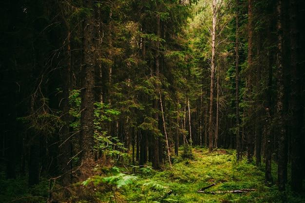 Dunkler alter nadelwald mit einem lichtstrahl, sommer aus nordamerika