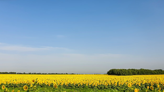 Dunkler himmel über einem gelben feld. ein gewitter kommt. ein naturphänomen. ruhe in der natur.